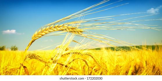 Wheat field against a blue sky