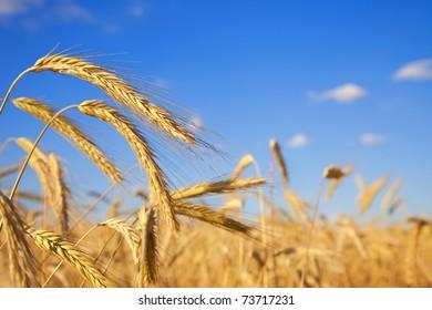 Wheat field against deep blue sky, close up