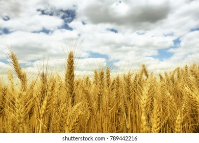 Wheat field against a sky