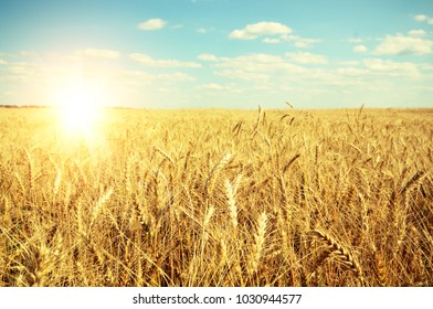 Wheat field against sun light under blue sky