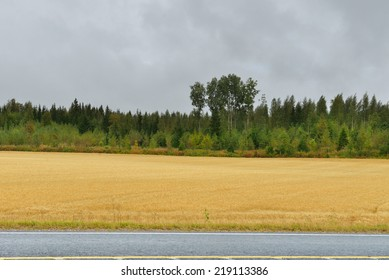 Wheat field along the road in autumn rainy day