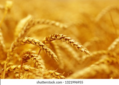 Wheat field background. Harvest and food concept