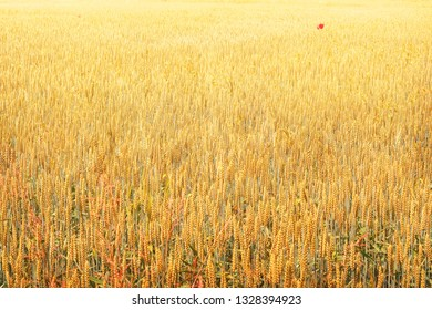 wheat field background with red poppies