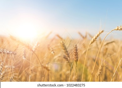 Wheat field. Background of the ripening ears of the field of meadow wheat. wheat crop