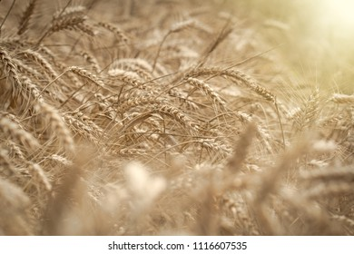 Wheat field, beautiful wheat field lit by sunlight in late afternoon