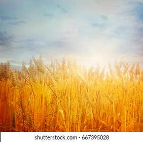 Wheat field. Beautiful Nature Sunset Landscape. Rural Scenery with golden wheat. Agriculture background with Harvest