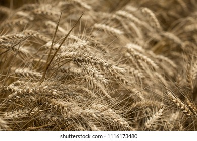 Wheat field, beautiful wheat field, it would be a good and rich harvest - ear of wheat