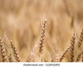 Wheat field before harvest