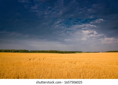 Wheat field before thunderstorm, minimalist summer landscape
