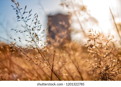 a wheat field. wheat blowing in the breeze. a blurred building in the background.
