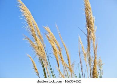 Wheat field in blue sky