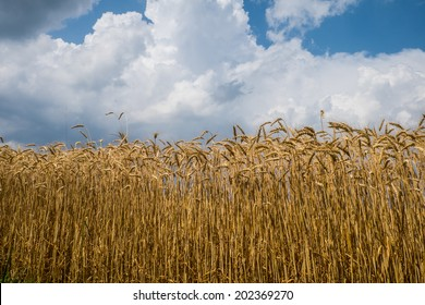 Wheat field with blue sky and clouds background.