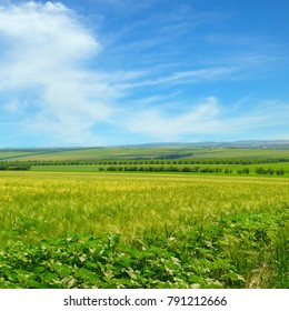 Wheat field and blue sky with light clouds. Agricultural landscape.