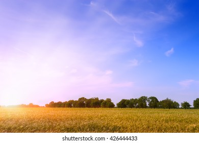 Wheat field with blue sky with sun and clouds.