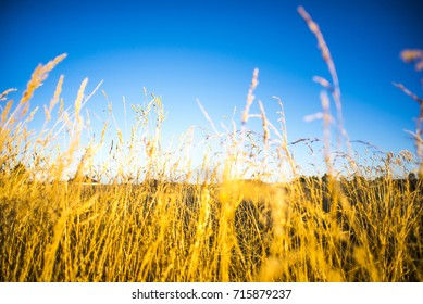 Wheat field and bright blue sky