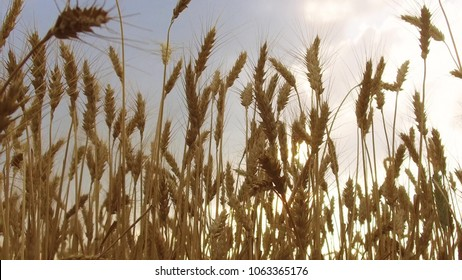 Wheat Field Caressed by Wind Crane Shot Nature Background Health Concept Agriculture steadicam shot