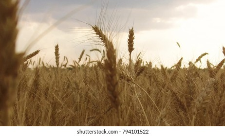 Wheat Field Caressed by Wind Crane Shot NAture Background Health Concept Agriculture steadicam shot video motion