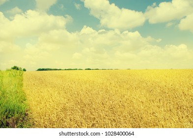 wheat field. cereals. harvest on an agricultural field. agrarian sector of production. vintage style