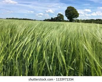 Wheat field in Cheshire, England UK on a sunny day with blue skies June 2017