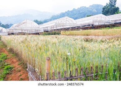 Wheat Field in Chiang Mai Royal Agricultural Research Centre Khun Wang, Thailand.