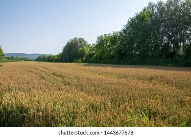 wheat field close to harvesting time - Serbia - Silver lake resort