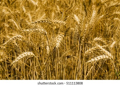 Wheat field, close up on ears, horizontal image