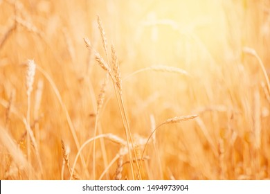 Wheat field closeup ripe in gold color, natural background. Harvest concept.