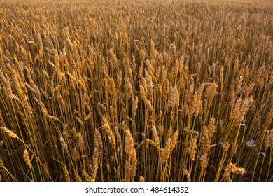 Wheat field in the countryside