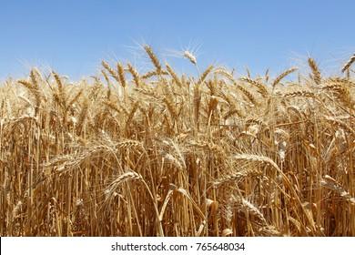 Wheat field countryside
