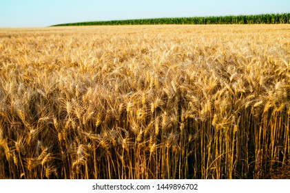 Wheat field crops landscape agriculture background