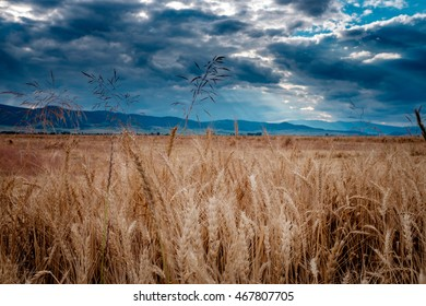 Wheat field with dramatic sky. Shafts of light from the sun.