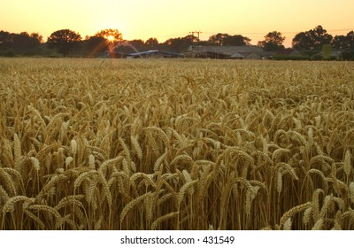 Wheat field at dusk in Kent, England