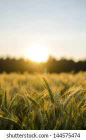 Wheat field in early summer at sunset.