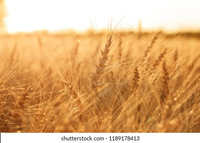 Wheat field. Ears of golden wheat close up. Rural Scenery under Shining sunset. close-up