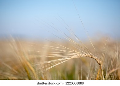 Wheat field. Ears of golden wheat close up. Beautiful Nature Sunset Landscape. Rural Scenery under Shining Sunlight. Background of ripening ears of wheat field. Rich harvest Concept. Label art design