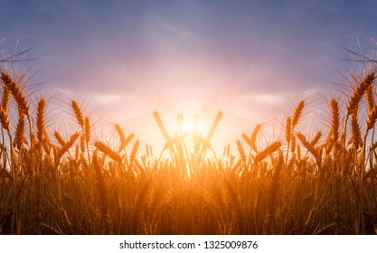 Wheat field. Ears of golden wheat close up during sunrise. Beautiful Nature Sunset Landscape. Rural Scenery under Shining Sunlight. Background of ripening ears of wheat field. Rich harvest Concept.