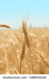 Wheat field. Ears of golden wheat close up. Beautiful Nature. Rural Scenery under Shining Sunlight. Background of ripening ears of meadow wheat field. Selective focus. Wheat field with soft light