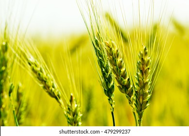 Wheat field. Ears of golden wheat close up. Beautiful Nature Sunset Landscape.