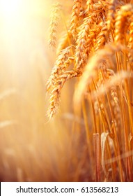 Wheat field. Ears of golden wheat close up. Beautiful Nature Sunset Landscape. Rural Scenery under Shining Sunlight. Vertical Background of ripening ears of meadow wheat field. Rich harvest Concept