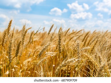 Wheat field. Ears of golden wheat close up. Beautiful Nature Sunset Landscape. Rural Scenery under Shining Sunlight. Background of ripening ears of meadow wheat field.