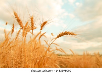 Wheat field with Ears of golden wheat. Rural Scenery under Shining Sunlight. Background of ripening ears of wheat field. Rich harvest Concept.