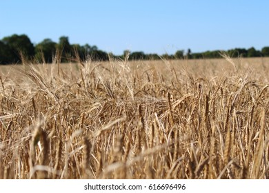 wheat field farm crop