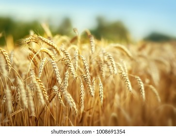 Wheat field at the farm, shallow depth of field.