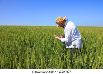 Wheat field. The farmer checks wheat ripening. Wheaten ears in the farmer hands
