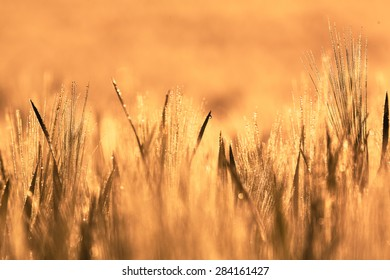 Wheat field of focus from the focus as a background image in the backlight