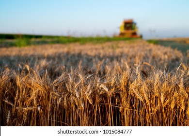 Wheat field in focus with combine harvesting behind.