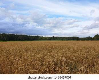 Wheat field with forest in the background