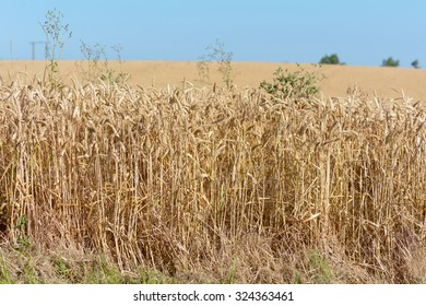 Wheat field in French countryside