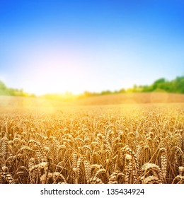 A wheat field, fresh crop of wheat.