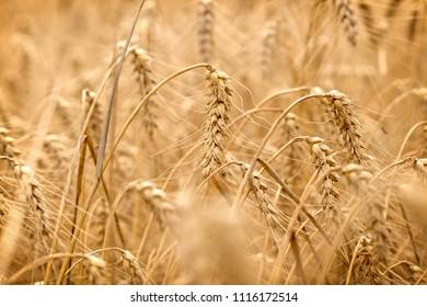 Wheat field - golden grain of wheat